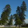 Wind Swept Norfolk Island Pines at a Point in Mission Bay, San Diego, CA. (Araucaria heterophylla)