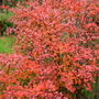 Autumnal Berberis