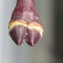 Japanese Maple buds!  Looks like a camel's foot!