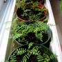 Jacaranda seedlings...