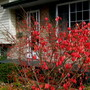 Fruit on the Euonymus