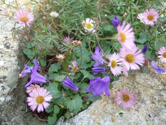 Corner of a double wall (Erigeron karvinskianus (Fleabane))