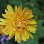 Gold_chrysanthemum