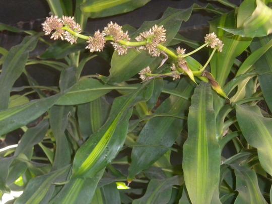 "Dracaena fragrans ""Massangeana"" - Corn Plant (Dracaena fragrans ""Massangeana"" - Corn Plant)"