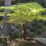 Cibotium glaucum - Hawaiian Tree Fern (Cibotium glaucum - Hawaiian Tree Fern)