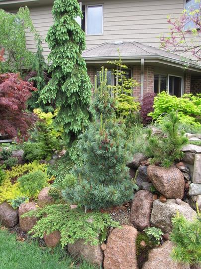West side conifer garden