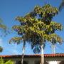 Twin Fishtail Palms (Caryota urens) (Fishtail Palm - Caryota urens)