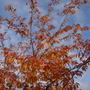 Prunus Subhirtella Autumnalis (Prunus Subhirtella Autumnalis Rosea)