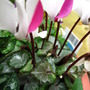 cyclamen with silver leaves