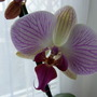 Orchid Shanghai Stripe (ORCHID)