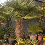 Our old Trachy......... (Trachycarpus fortunei (Chusan palm))