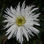 Leucanthemum    .. second flush ...