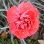 Dianthus   ' Alan Titchmarsh '