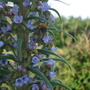 echium pininana (Echium pininana (Tree echium))