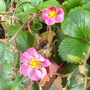 Strawberries  still in flower...