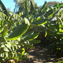 Banana Boulevard at Quail Botanical Gardens (Musa - Banana)