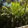 Pandanus ultilis - Screw Pine, Madagascan Screw Pine  (Pandanus ultilis - Screw Pine, Madagascan Screw Pine)