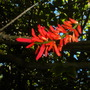 Erythrina mexicanum - Mexican Coral Tree (Erythrina mexicanum - Mexican Coral Tree)