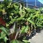 Many Banana varieties at my local nursery in  San Diego, CA.  (Musa - Banana)