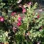 Mandevilla splendens variegata 'Red Ridding Hood'  (Mandevilla splendens variegata 'Red Ridding Hood')
