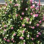 Mandevilla splendens &#x27;Red Ridding Hood&#x27;  (Mandevilla splendens &#x27;Red Ridding Hood&#x27;)
