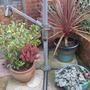 winter pots (cordyline, heuchera, skimmia)