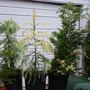 024 Variegated Conifer