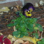 Pansy with great colour
