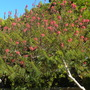 Calliandra confusa - Red Calliandra (Calliandra confusa - Red Calliandra)