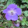 Hardy Geranium - Roxanne