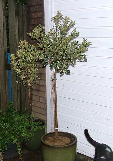 "Ilex ""Argenteomarginata"" (standard holly tree) (Ilex Argenteomarginata)"