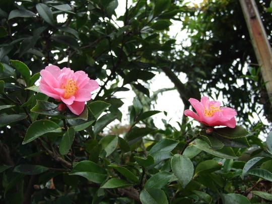 Camellia Sasanqua- Pink