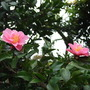 Pink_camellia