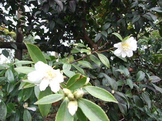 Camellia Sasanqua - White