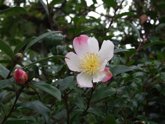 Camellia Sasanqua - Rainbow (Camellia sasanqua - Rainbow)