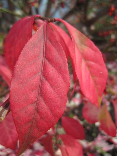 close up (Euonymus alatus (Winged spindle))