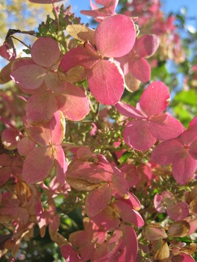 Pink Diamond (Hydrangea paniculata (Hydrangea))