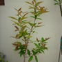 Syzygium samarangense - Wax Jambu Tree (Syzygium samarangense - Wax Jambu Tree)