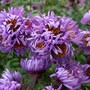 Dwarf alpine asters (Aster alpinus (Alpenaster))