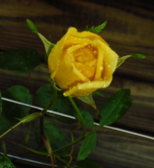 Bud on Rose 'Golden Showers'