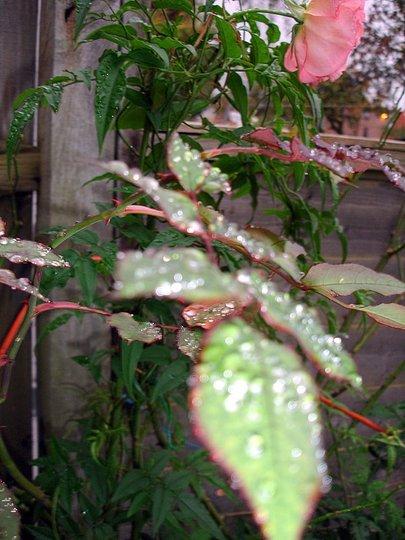 LEAVES RAIN DROPLETS