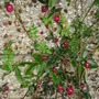 Cherry berry (Billardiera longiflora)