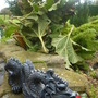 Gunnera by pond all protected