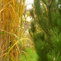 Miscanthus and Pinus