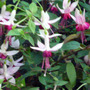 FUCHSIA PAULA JANE  (FUCHSIA)