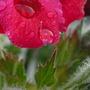 Arty geranium pic.... (Pelargonium graveolens (Geranium))