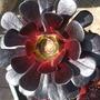 aeonium zwartkop (aeonium zwartkop)