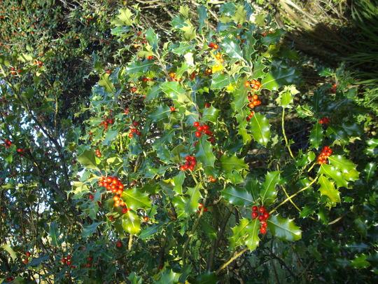 Ilex (Holly) (Ilex aquifolium (Holly))