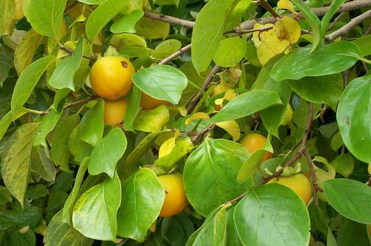 Diospyros kaki or persimmon