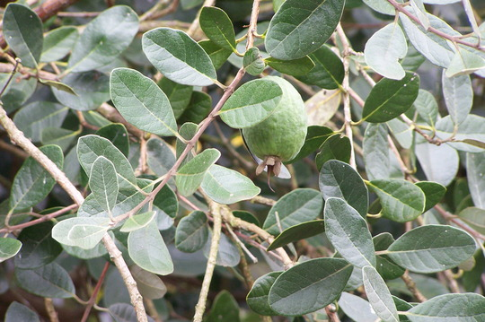 Feijoa Sellowiana or Acca, the fruit salad plant or pineapple guava
